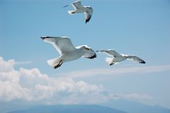Seagulls in blue sky. Three seagulls flying in blue sky Stock Photo