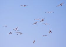 Seagulls in blue sky Stock Photography