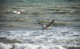 Seagulls and the blue waters. Royalty Free Stock Photography