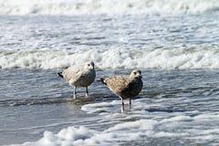 Seagulls on Borkum. Borkum is an island in the German North Sea royalty free stock photo