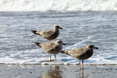 Seagulls on Borkum. Borkum is an island in the German North Sea royalty free stock images