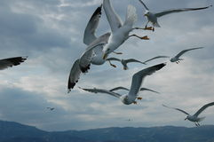 Seagulls, bread and wheel catches up Royalty Free Stock Photography