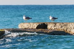 Seagulls on a breakwater. Royalty Free Stock Images
