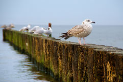 Seagulls on breakwater stock photography