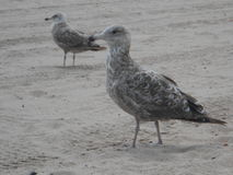 Seagulls on Brighton Beach. Stock Images