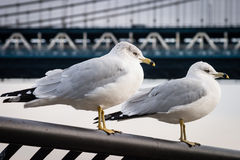 Seagulls at  Brooklyn Bridge Park Royalty Free Stock Photos