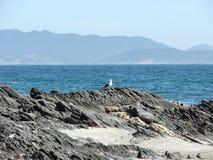 Seagulls Cabo Frio. Gaivotas de Cabo Frio Riode Janeiro Stock Image