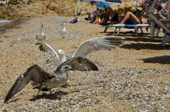 Seagulls at campese beach Stock Photo