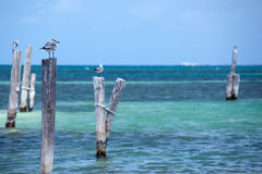 Seagulls in Cancun Royalty Free Stock Images