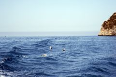 Seagulls catching some fish. Gulls over water that plunge-dive to catch prey in the sea stock photos