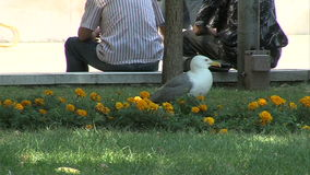 Seagulls in the central square of the old Varna, Bulgaria stock video footage