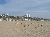 Seagulls Chłodzi, Snata Monica plaża, Kalifornia, usa zdjęcia royalty free