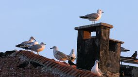 Seagulls on Chimney. And sky stock footage
