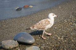 Seagulls chodzi na plaży Czarny morze w Sochi, Rosja Obrazy Royalty Free