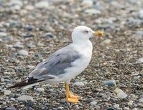 Seagulls chodzi na plaży Czarny morze w Sochi, Rosja Obraz Royalty Free