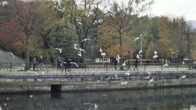 Seagulls circling flying at autumn city park stock footage