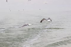 Seagulls circling over the water.  stock images