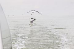 Seagulls circling over the water.  stock photo