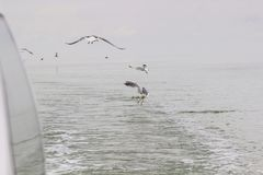 Seagulls circling over the water.  royalty free stock photos