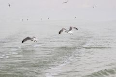 Seagulls circling over the water.  royalty free stock photography