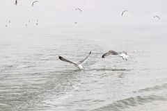 Seagulls circling over the water.  stock image