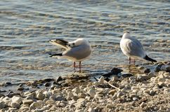 Seagulls clean up on a lake at a stone beach 16 royalty free stock photo