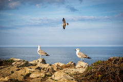 Seagulls in a cliff in the Portuguese coast. Near Peniche Royalty Free Stock Photos