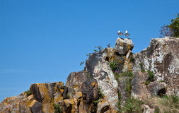 Seagulls on Cliff Stock Photos