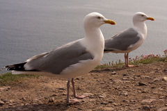 Seagulls at the cliffs. Two seagulls at the cliffs in Ireland Royalty Free Stock Photos