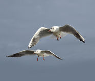 Seagulls. A close up of two seagulls in flight against a dark sky Royalty Free Stock Photos
