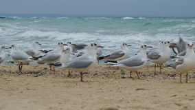 Seagulls closeup. Many seagulls on the beach in winter time stock video footage