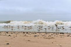 A flock of birds on the beach, seagulls in cloudy weather royalty free stock photo