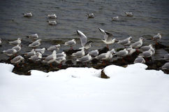 Seagulls on the coast one winter day Royalty Free Stock Photo
