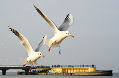 Seagulls. At the coast in Poland Royalty Free Stock Image