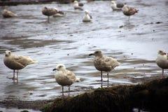 Seagulls  on the coastal sand beach Royalty Free Stock Photos