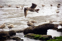 Seagulls  on the coastal sand beach Stock Photo