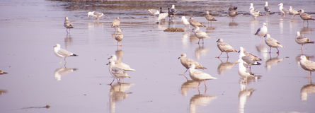 Seagulls  on the coastal sand beach Stock Images