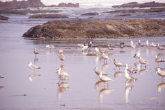Seagulls  on the coastal sand beach Royalty Free Stock Images
