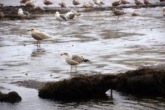 Seagulls  on the coastal sand beach Stock Photography