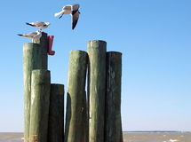 Seagulls on coastline Stock Image