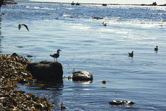 Seagulls. At coastline of Pacific royalty free stock photos
