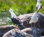 Seagulls in a colony of birds with voices Stock Photo