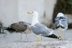 Seagulls on concrete Royalty Free Stock Image