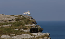 Seagulls couple tintagel Stock Image