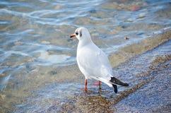 Seagulls Royalty Free Stock Photos
