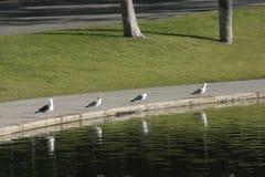 Seagulls cztery Fotografia Royalty Free