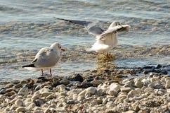 Seagulls czyścą na jeziorze przy up drylują plażę 11 Obraz Royalty Free