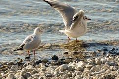 Seagulls czyścą na jeziorze przy up drylują plażę 12 Obrazy Stock