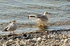 Seagulls czyścą na jeziorze przy up drylują plażę 14 Zdjęcia Royalty Free