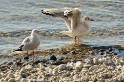 Seagulls czyścą na jeziorze przy up drylują plażę 13 Fotografia Stock